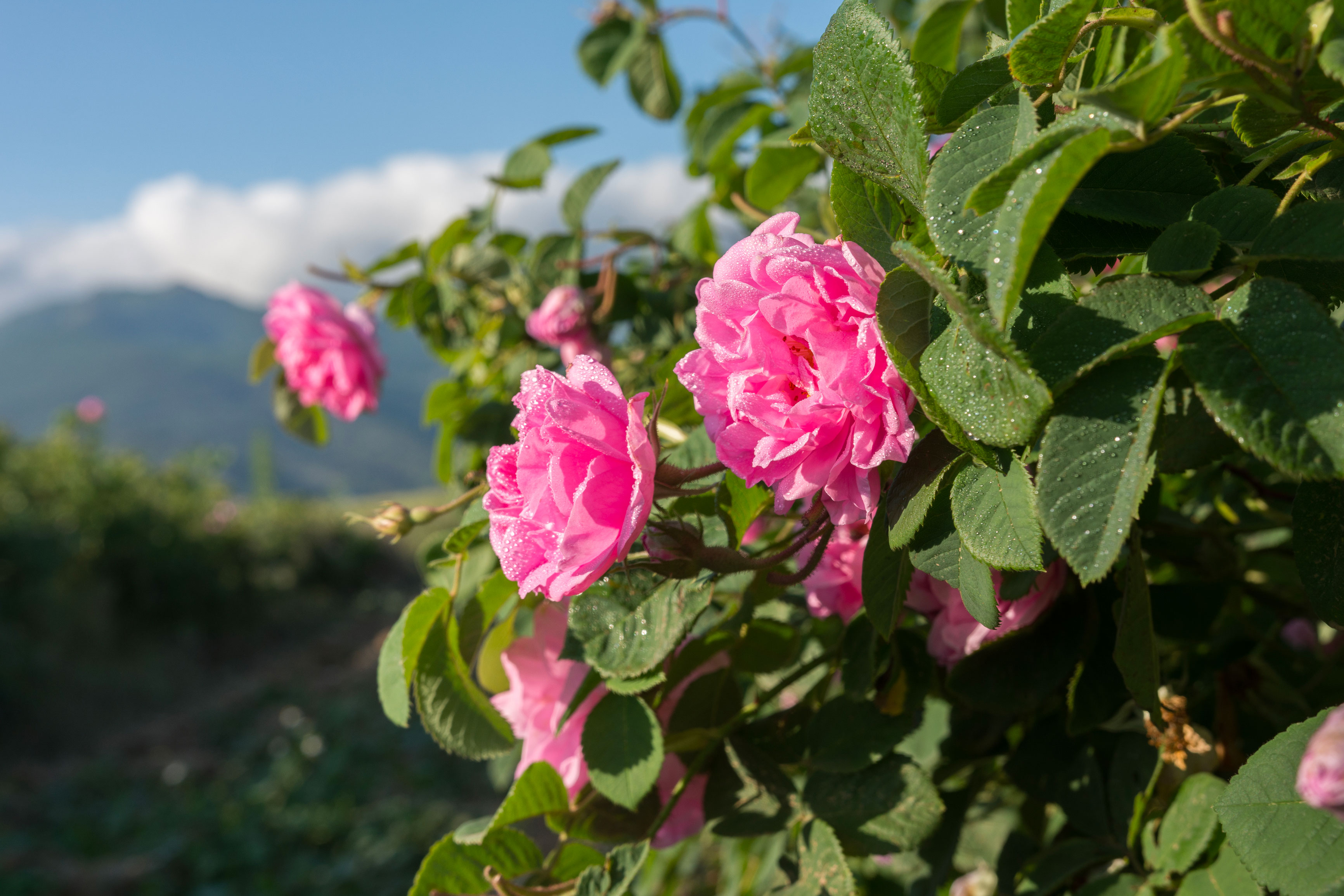 Růže pro vaše potěšení